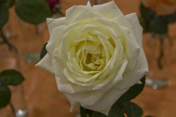 fca2015-flores-de-dulcinea-foto-nicolas-murcia_1
